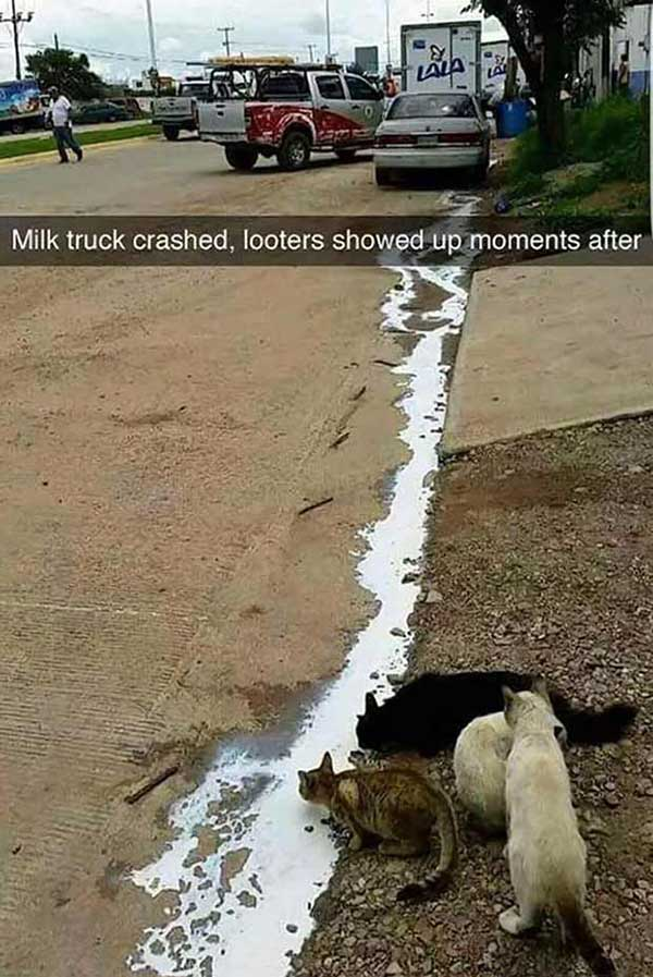 Cats lapping up after milk truck crash ~ funny snapchat humor