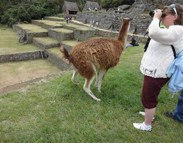 Awkward timing ~ woman at ruins looking through binoculars as llama takes a pee