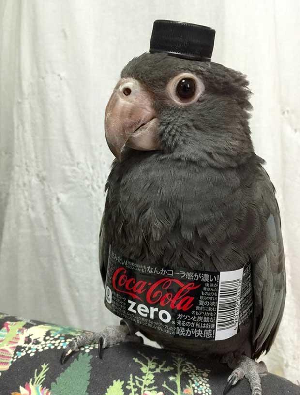 Funny Parrot Bellhop wearing coke zero label