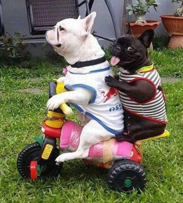 Awesome dogs riding tricycle ~ 35 Funny Pics & Memes