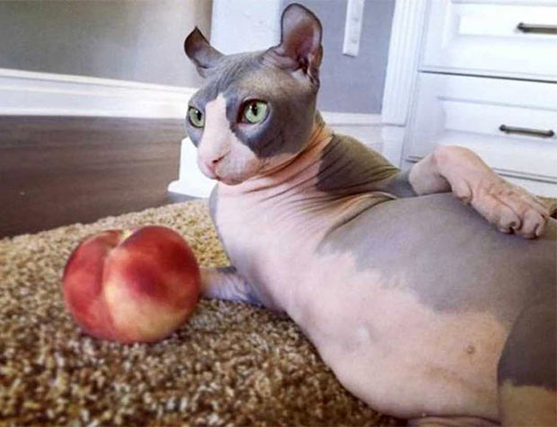 Brown Chicken Brown Cow!.... sexy cat.... ~~ 37 funny pics & memes