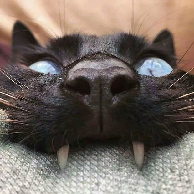 Yikes!creepy black cat fangs biting couch