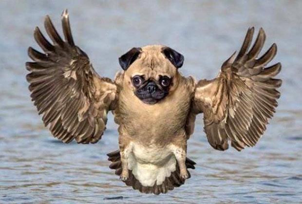 Pug Duck... Funny animal mash up