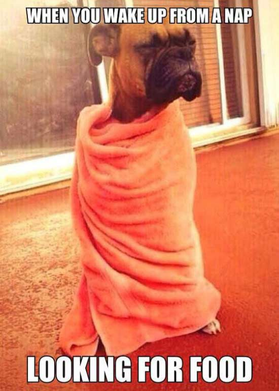 Funny meme of dog wrapped in towel. When you wake up from a nap looking for food.