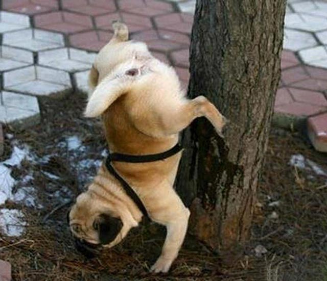 Funny Dogs ~ I think it's broken ~ standing on head