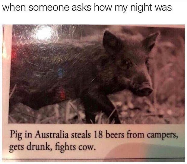 Funniest Memes of the Day ~when someone asks my how high night went ~ news story ~ pig in Australia steals beer from campers fights cow