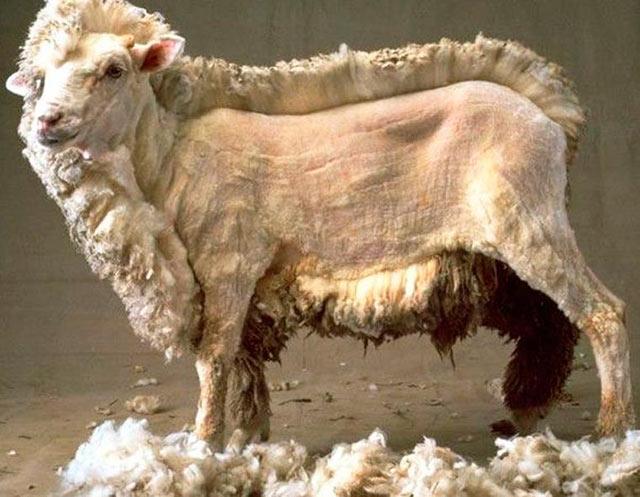 33 Funny Pics and Memes, and Random Humor ~ Weird creepy half sheered sheep