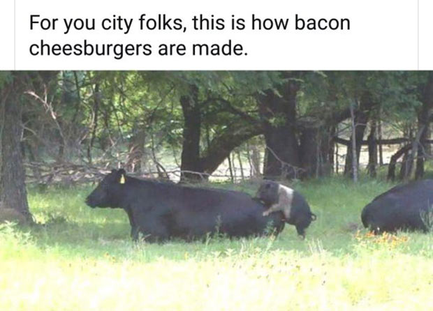 Adult Humor ~ 31 Funny Memes and Pics ~ how bacon is made pig humping cow