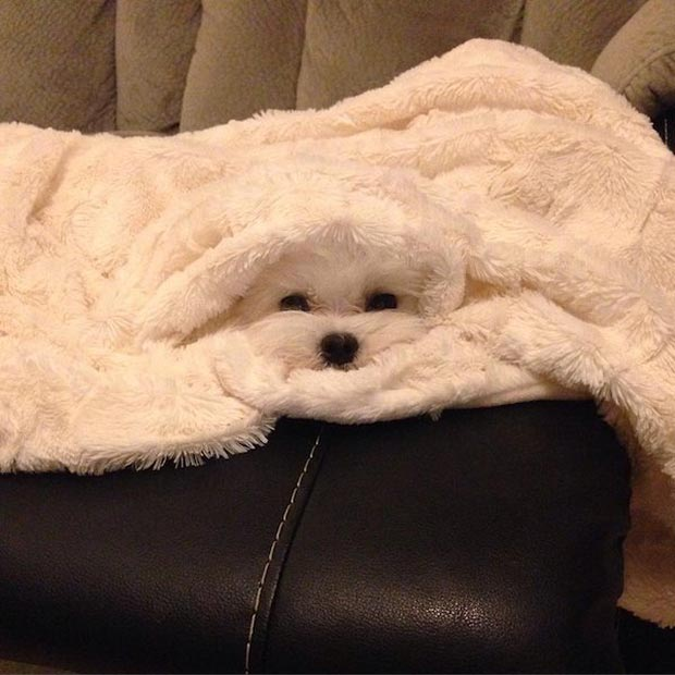 Funn cute white dog under blanket camouflaged ~ 33 Funny Pics and Memes best