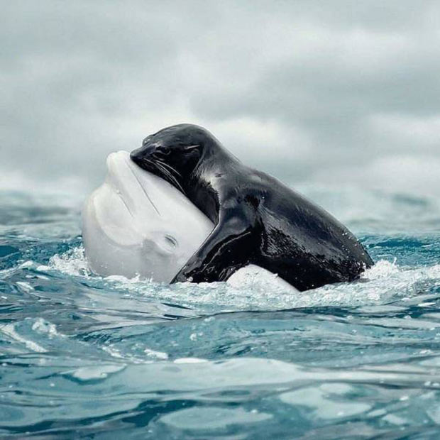 33 Happy Animals Guaranteed to Raise Your Smile ~ cute seal hugging beluga whale