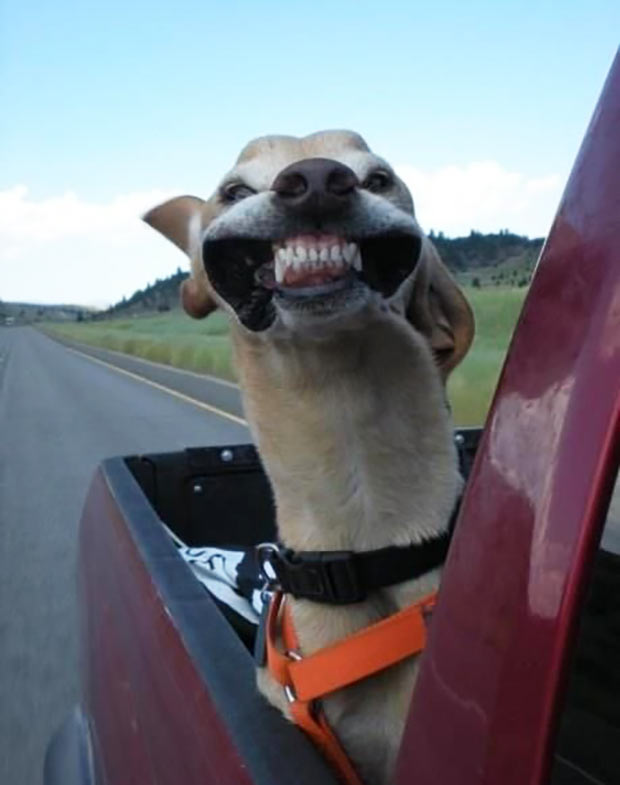 33 Funny Animals Guaranteed to Raise Your Smile ~ happy dog head out car window