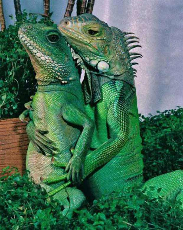 33 Funny Animals Guaranteed to Raise Your Smile ~ hugging spooning lizards