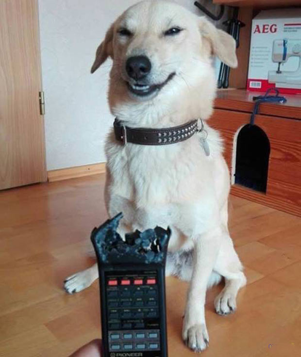 33 Funny Animals Guaranteed to Raise Your Smile ~ Happy dog ate TV remote