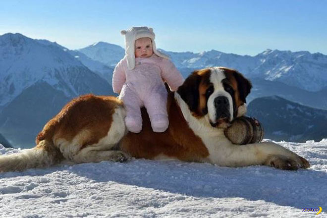 31 Funniest Memes and Pics Crazy Kooky and Comical ~ baby sitting on St. Bernard, cute, dog