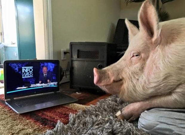 33 Funny Memes and Pics to Release Your Inner Humor ~ pig watching info wars on laptop
