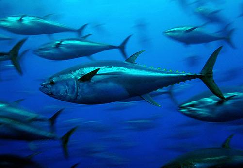 Tuna and Mercury