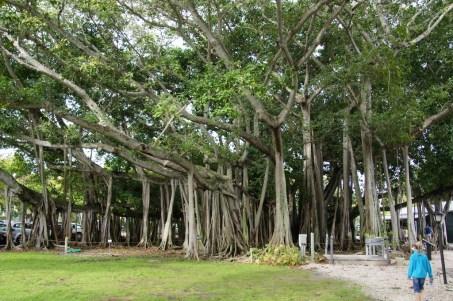 Baum vor dem Edison Museum. Das ist nur ein (1) Baum!