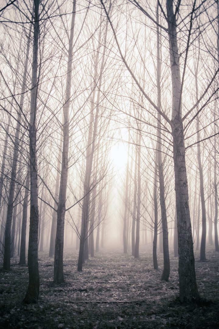 bare trees in foggy forest