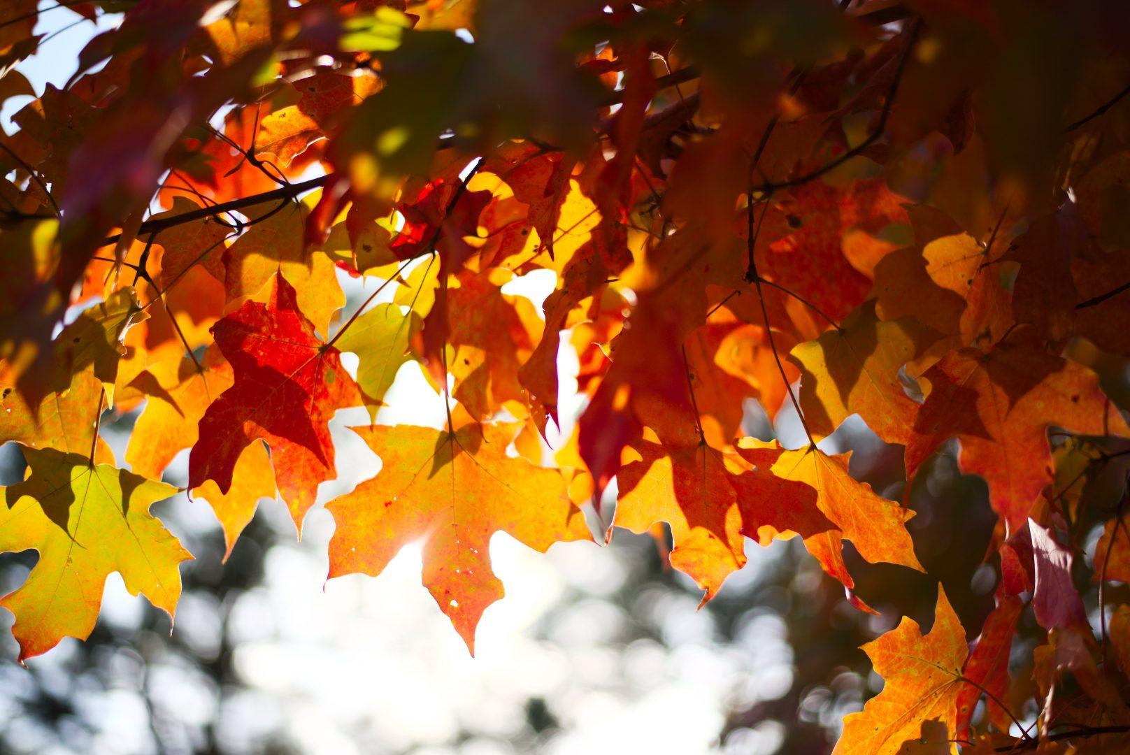brown maple leaves in tilt shift lens
