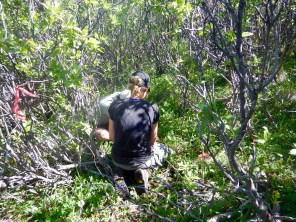 Burying tea in the dense shrub