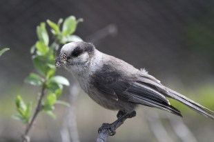 Grey jay perching on one of our shrubs