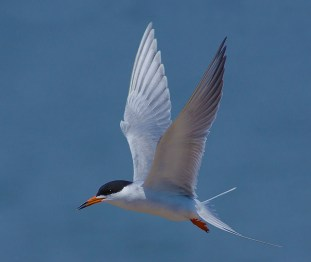 Common tern in flight