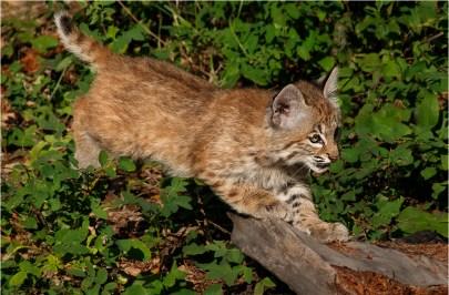 Playful Bobcat
