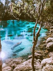 manatees in a natural spring in florida's three sisters springs