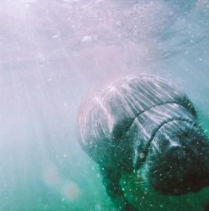 underwater shot of manatee facing camera