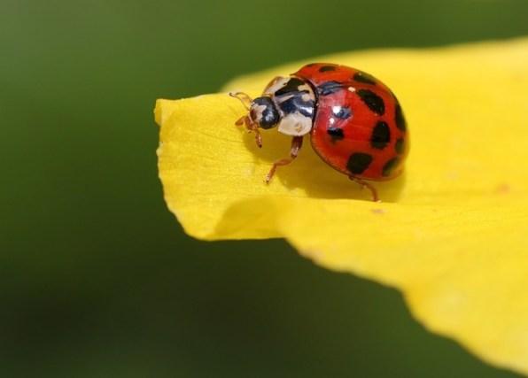 ladybug-241636_640