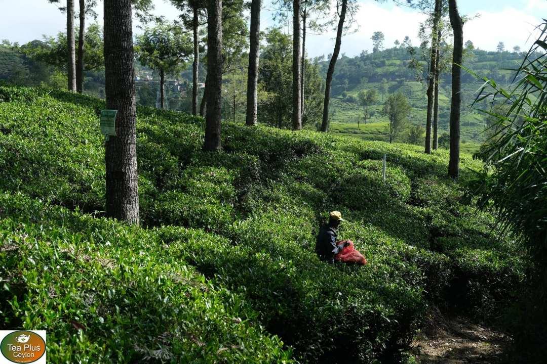 Tea harvest at Sri Lanka