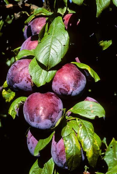 Black Doris plums