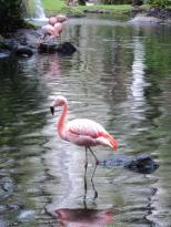 pink flamingo, maui, hawaii, nature, wildlife