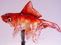 飴細工の金魚がすごい!溶けるとグロ美しい!