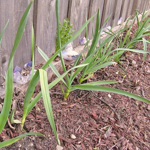 Green garlic in Serena's garden