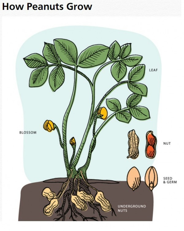 How Do Peanuts Grow | @tspcurry | Holiday Peanut Recipes
