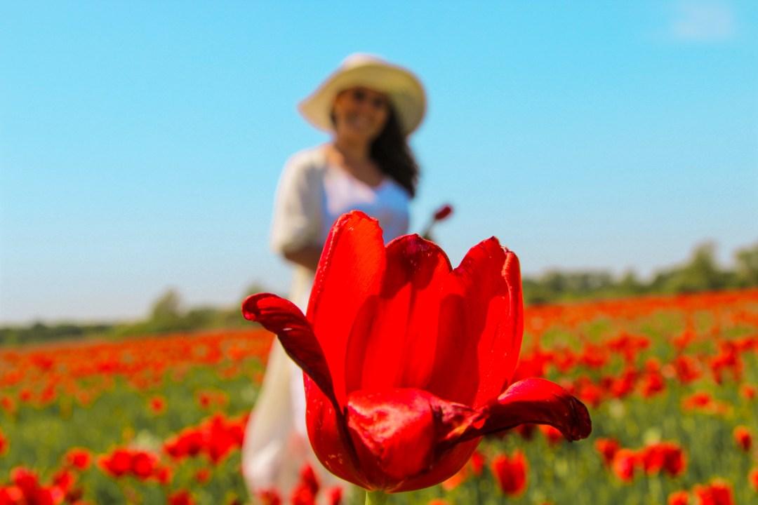 tulipaner tyrkiet, tyrkiets national blomst, tulipan marker, fakta om Tyrkiet
