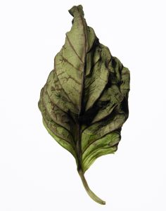 dead_leaf