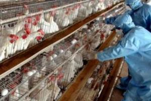 H5N1 virus found in the chickens in Bengaluru