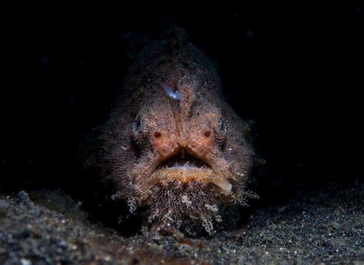 How scary-looking Fanfin Seasdevil Angerfish mate? First-ever video released shows the bizzare nature