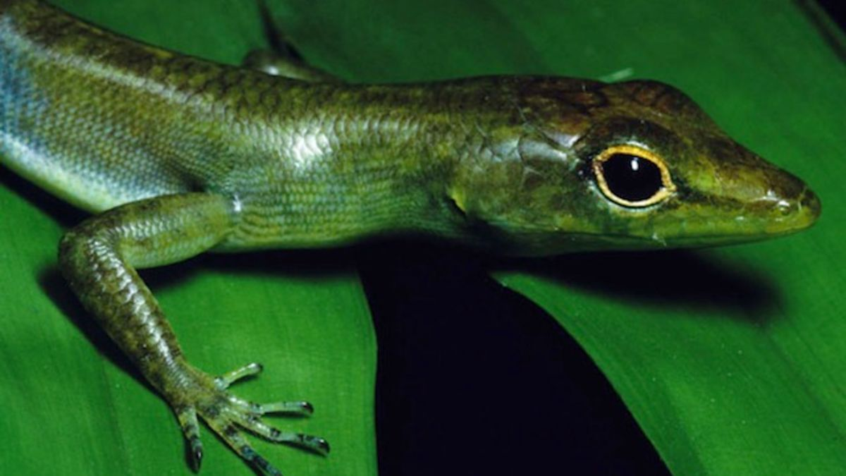 We Still Don't Know Why These Lizards Have Lime-Green Blood