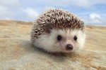 i Hedgehog