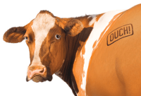 Branded Cow