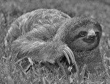 Sloth Creeping BW
