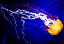 Deepsea Deep Sea Diving Photography Jellyfish Blue Dark How Video Educational Info