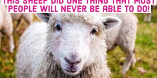 Sheep Farm Herd Animals Text Clickbait Article