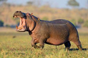 Hipopótamos. Los animales mas peligrosos de la transformación digital