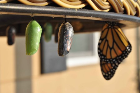 transformation: 2 pupae 1 butterfly