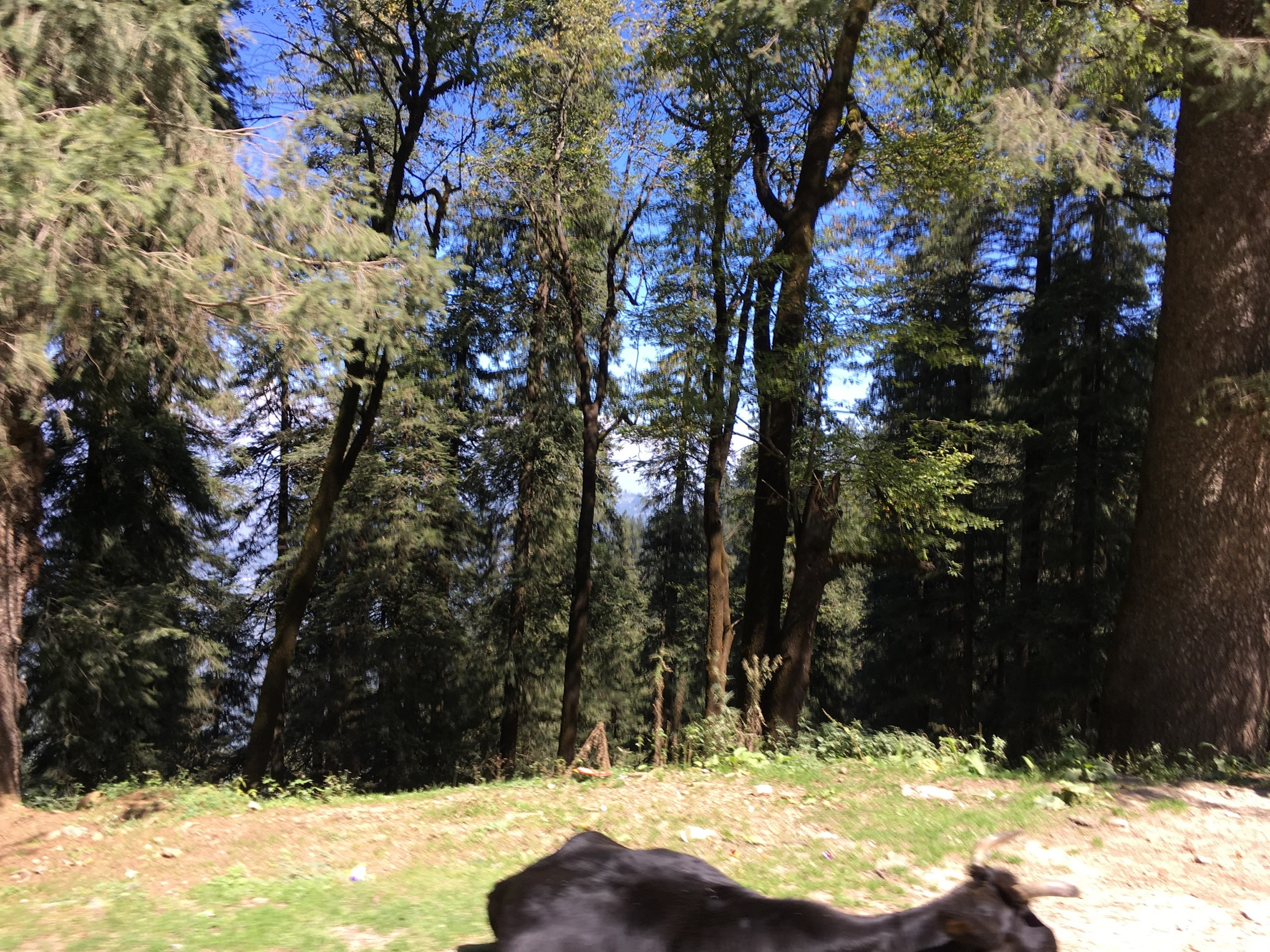 A black cow standing next to a forest and the trees