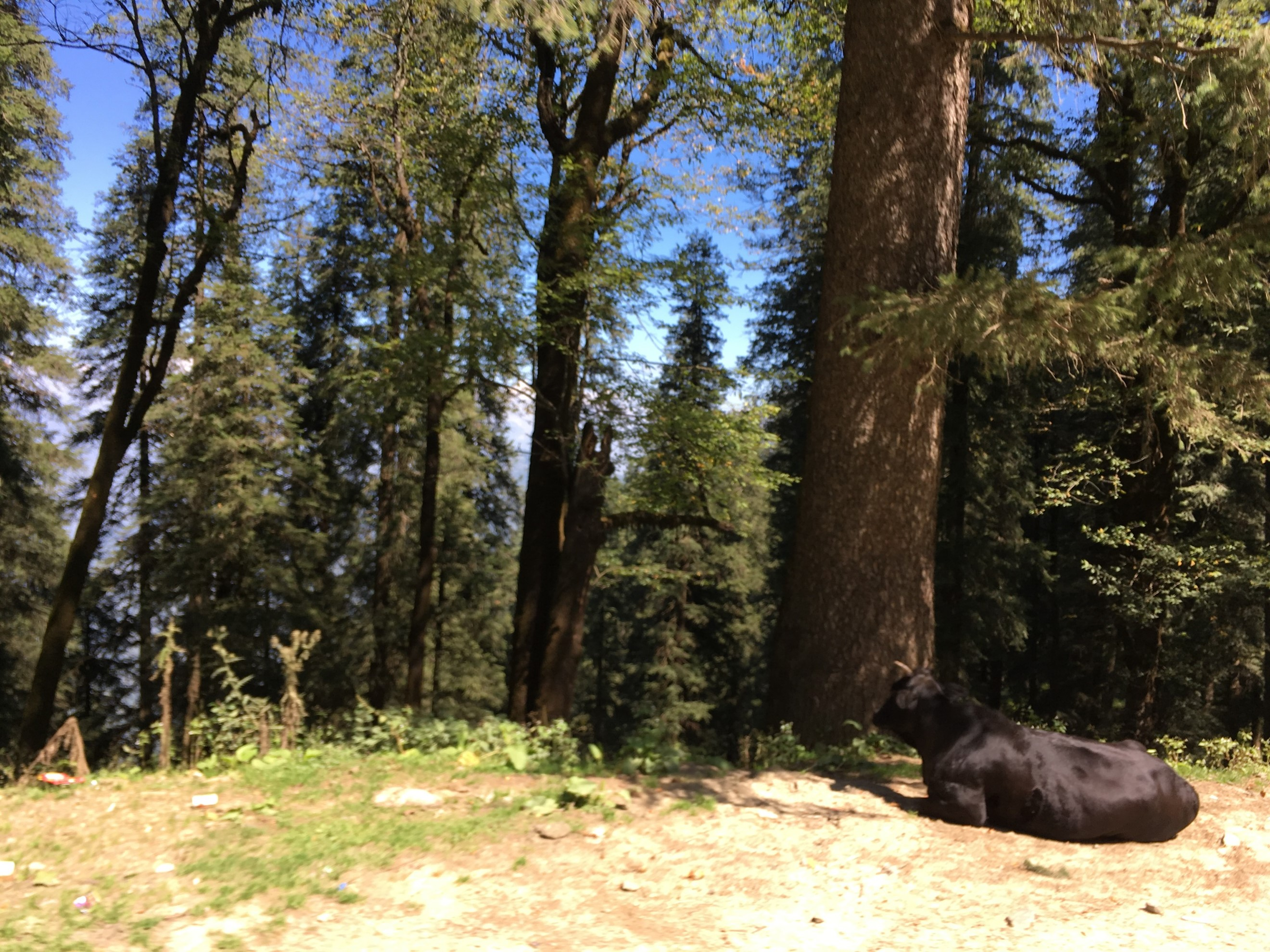 A tree in a forest on Hatu peak with perhaps a buffalo